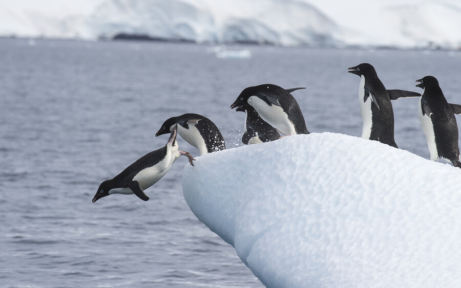 adelie-penguins-diving-antarctica.jpg